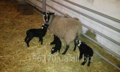 Rams, sheep, sheep of Romanovsky breed, in Ukraine