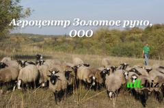 Herd of sheep, in Ukraine, the price, a ph