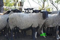 Hoofed animals, sheep, rams Romanovsky breed,