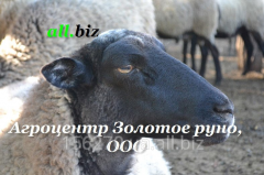 Rams breeding, rams Romanovsky breed, rams