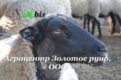 Rams breeding, Sheep, Romanovsky breed, expor