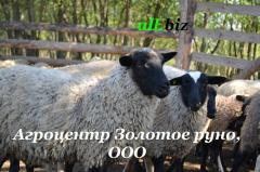Mutton, mutton sale by live weight, in Ukraine,