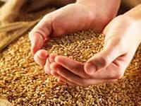 Wheat of the first class wholesale