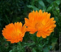 CO2-Extrakt der Ringelblume