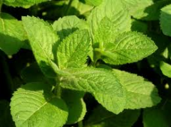 Essential oil of peppermin
