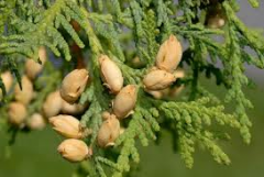 Essential oil of thuja