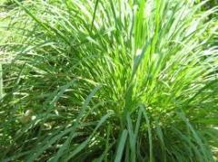 Essential oil of palmarose