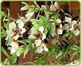 Essential oil of tea tree