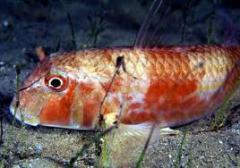 Red mullet small fish
