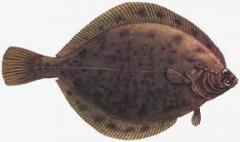 Flounder, fish