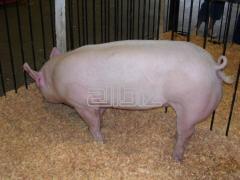 Комбикорм сухой для свиней