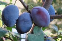 Oil of plum stones