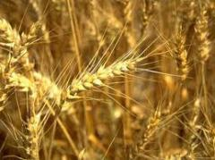 Purchase of grain and bean crops