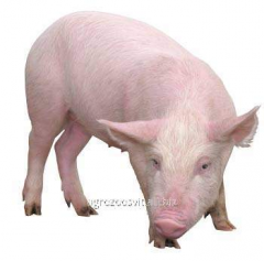 Bioadditives for pigs: norms and resul