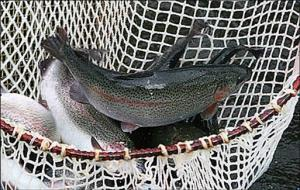 Trout of rayduzhny live 1,5-3,5 kg