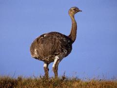 Корм для страусів