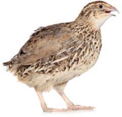 Forage for quails: norms