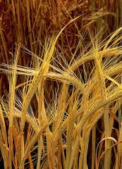 Barley in Ukraine to Buy, the Price, the Photo