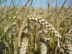 Grain crops in Ukraine to Buy, the Price, the