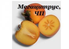 Хурма, в Украине, цена, купить оптом, хурма опт