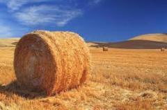 Straw whea