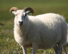 Овцы племенные Каракульской породы