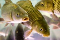Pesce fresco lavorato d'acqua dolce