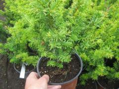 Saplings of coniferous trees species