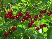 Sadzonki wiśni