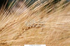 Seeds of barley of winter barley, Ukraine