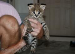 Serval - emphasizes the status of the owner and