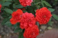 Розы плетистые. Плетистая (клаймер) Роза