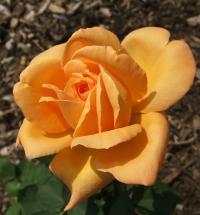 Розы плетистые.Плетистая (клаймер) Роза