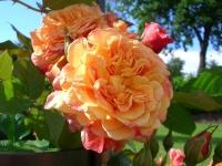 Саженцы плетистой розы. Украина, Киев