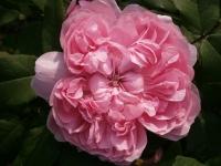 Саженцы роз, Украина, Киев. Работаем по всей