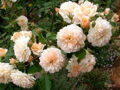 Саженцы роз. Украина, Киев