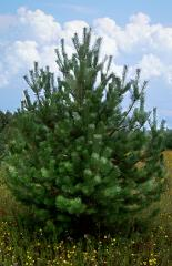 Live New Year's to buy pines.
