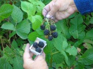 Blackberry saplings