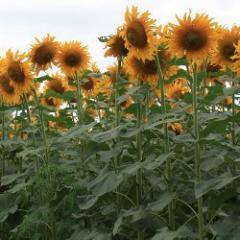 Sunflower hybrids, Sunflower hybrids wholesale and