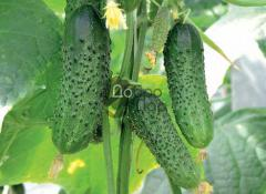 Среднеранний высокоурожайный сорт огурца, семена