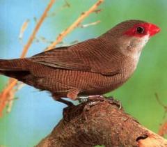 Птици астрилди