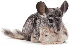 Chinchillas families for cultivation se
