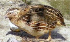 Furaj amestecat pentru prepeliţe