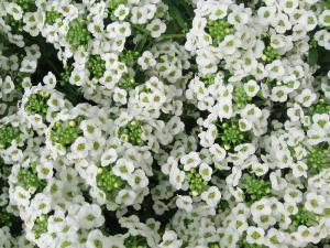 Семена цветов, Аллисум белый