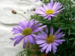 Семена цветов брахикома