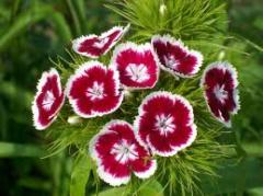 Семена гвоздики турецкой