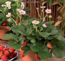 Strawberry remontantny