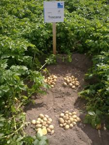 Картофель семенной продажа, опт