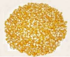 Срочно продажа кукурузы 5000 тонн
