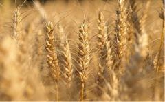Зерновые культуры: пшеница, ячмень, кукуруза,
